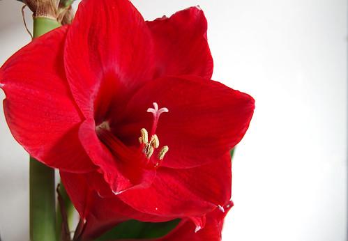 bloem rood 1