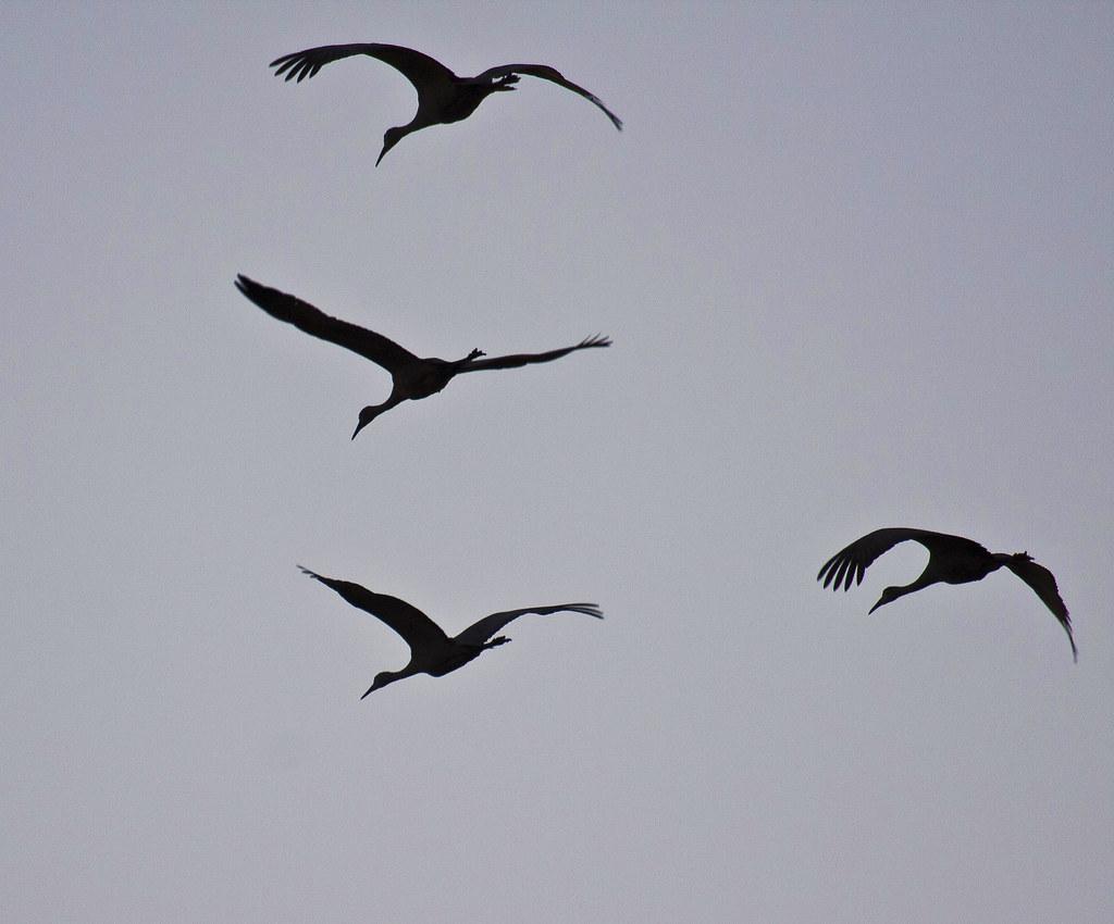 It Was Twilight And Sandhill Cranes >> Overhead Twilight Flight Sandhill Cranes Grus Canadens Flickr