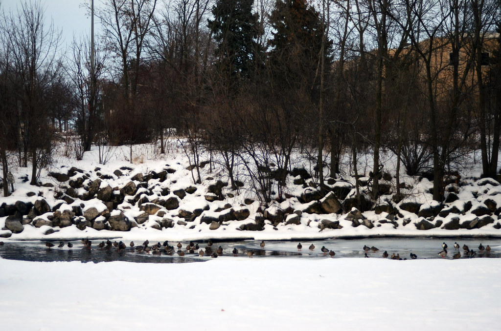 Duck Pond in Winter