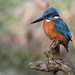 Kingfisher - Explored by Hilary Chambers