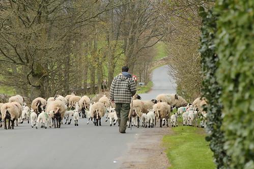 sheep_sedbusk