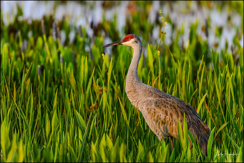 animal beak big bill bird closeup colorful eye fauna feathers florida gruscanadensis large leg life light look marsh nature neck pattern plumage portrait pose red sandhillcrane stance standing staring tall vierawetlands walk wildlife wing unitedstatesofamerica us sunset