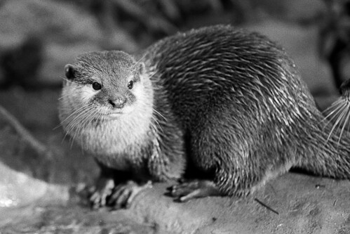 black and white portrait of a pensive looking river otter perched on a rock.