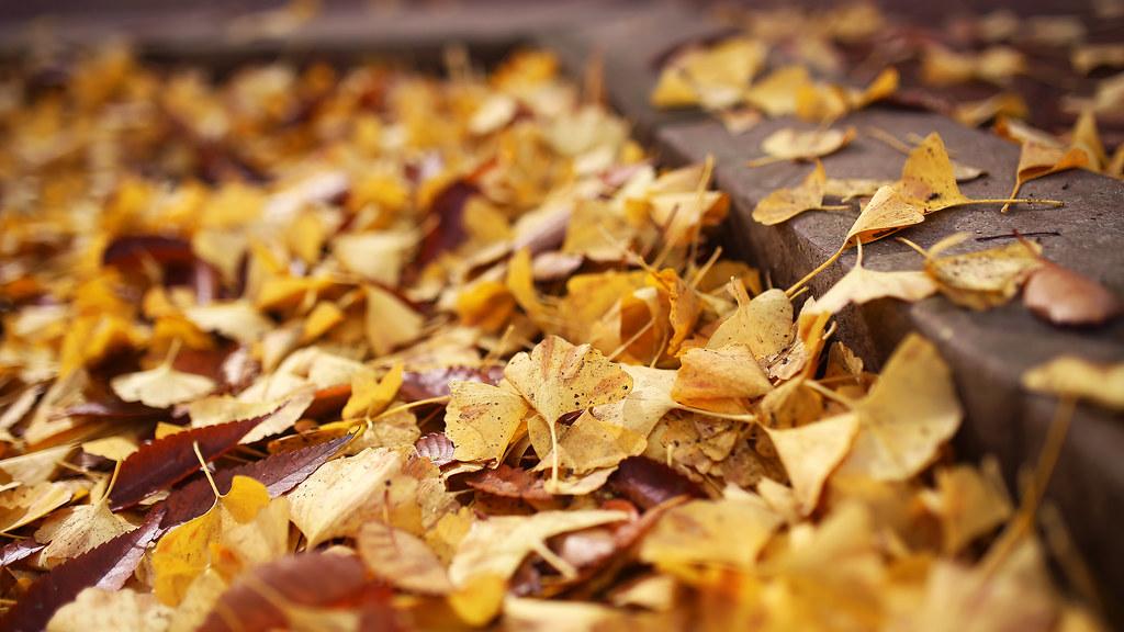 光が丘公園 Tokyo, Japan / Sigma 35mm / Canon 6D 光丘公園有整排的銀杏樹在大道上,雖然現在來有點晚,樹上的銀杏葉都落的差不多了,只好挑地上的景來拍。  光丘公園這裡好熱鬧,好多家庭出動,有的野餐,有的在溜冰,有的在遛小朋友。  還有小朋友把地上整片的銀杏葉往上拋!  很熱鬧的地方!  Canon 6D Sigma 35mm F1.4 DG HSM Art IMG_9260_more_16x9 Photo by Toomore