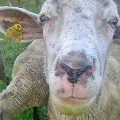 Vuoi vedere che adesso dovrò ripulirle anche il muso? #pecore #ovini #gregge #navelli #laquila #abruzzo #italy
