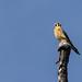 Falco sparverius por Pablo Leautaud.