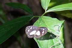 Cairns hamadryad Tellervo zoilus zoilus