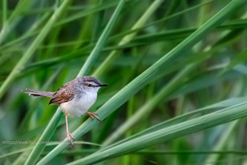 harisankar karnataka bird 2015 idplease hsspublic passerine prinia വയൽക്കുരുവി cisticolidae plainprinia
