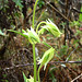 Small photo of Halenia aquilegiella