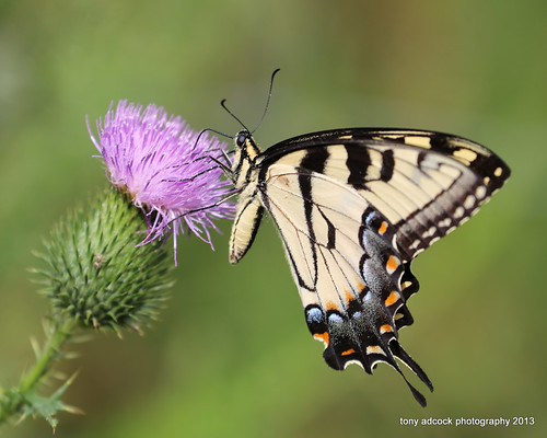 flowers flower butterfly virginia unitedstates thistle butterflies danville wildflowers pollen wildflower queenanneslace swallowtail swallowtailbutterfly easterntigerswallowtail papilioglaucus pollinator