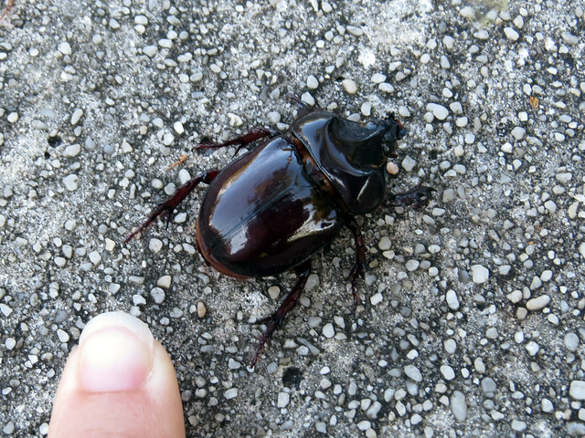 Rhinoceros beetle sp