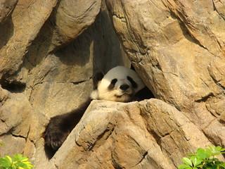 071 Reuze panda