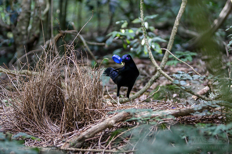 A male satin bower bird decorates his bower with blue trinkets in order to attract a mate.