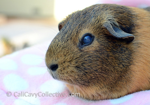 A closeup of our guinea pig Belka's injured eye.