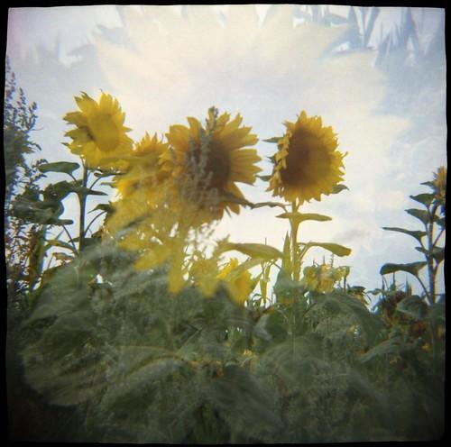 sunflower monday