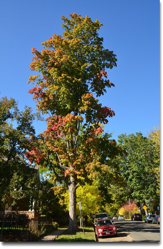 Maple in Fall, Mapleton Hill, Boulder (61)