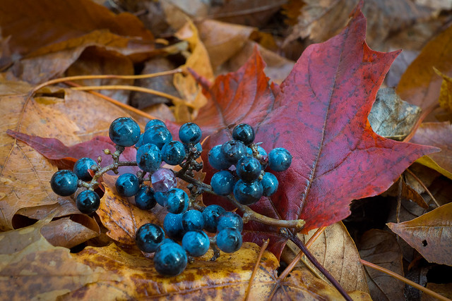 Berries, Autumn, Fall, Leaves, Blue, Red, Maple Leaf,