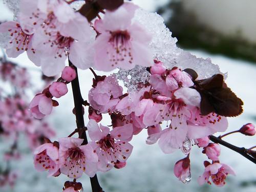 neige printaniere