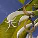 Cyanea humboldtiana by Jobu14
