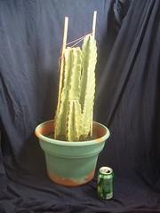 my_garden_cereus_cactus_2