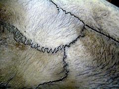 Hippopotamus Skull Suture