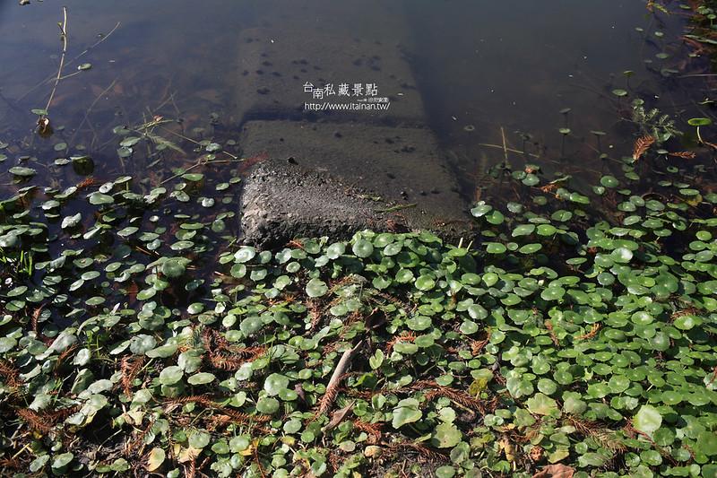 台南私藏景點--巴克禮落羽松 (28)