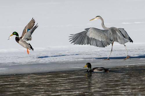 Heron Attack_42867.jpg