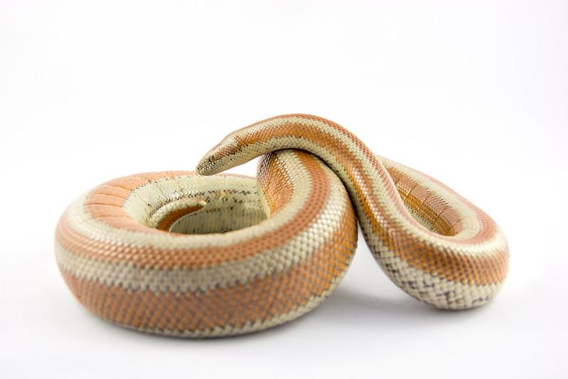 Rosy boas & ball python for sale