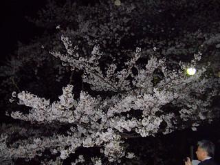 北の丸公園前の桜