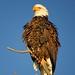 Bald Eagle by d_silva1