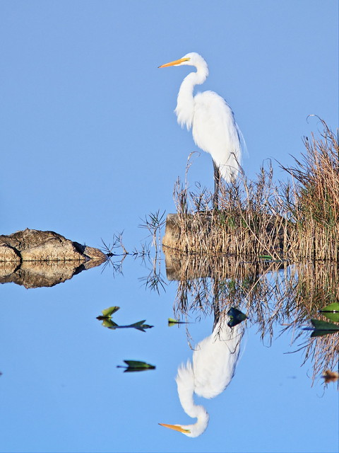 Great Egret reflection 20140127