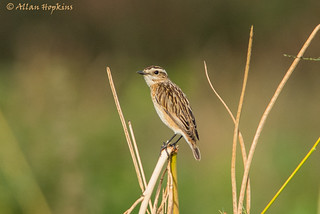 Whinchat (Saxicola rubetra) adult