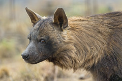 Brown hyena profile