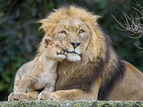 Cub loving his dad II