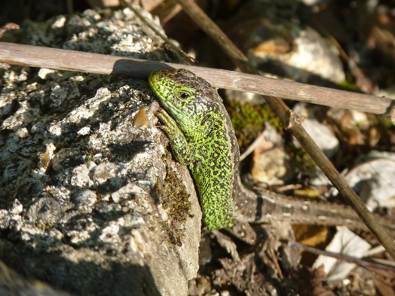 Sand Lizard - Dorset