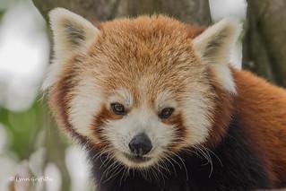 Red Panda - lovely face NIK_8864-79.jpg