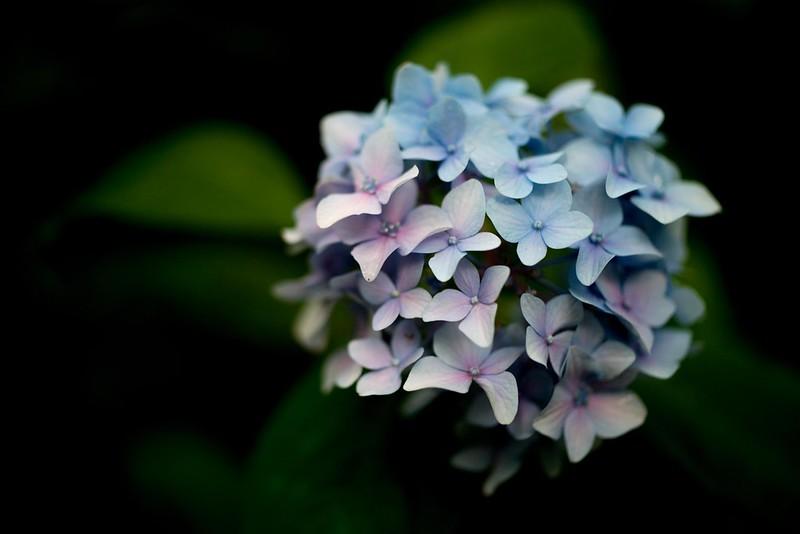 Hydrangea Zeiss #4