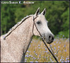 Cloud- Arabian gelding available for adoption in New Jersey
