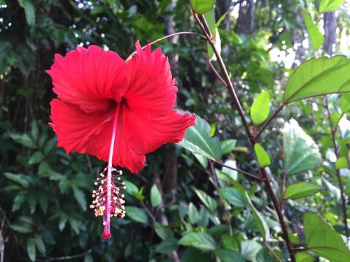 topes collantes escambray guamuhaya guamuaya montañas mountains mountain montañoso flower flor plant planta marpacífico hibiscus rosa sinensis