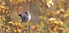 Blue gray Gnatcatcher Legacy Park Malibu 186