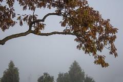 Oak Branch, Morning Fog