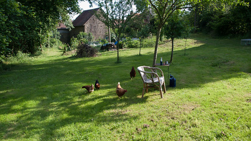 Happy hour with the chickens