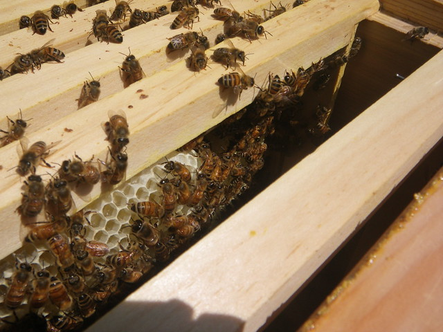 Comb building well on its way in the sun hive
