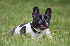 olde english bulldogge(0.0), dog breed(1.0), animal(1.0), dog(1.0), old english bulldog(1.0), pet(1.0), australian bulldog(1.0), toy bulldog(1.0), french bulldog(1.0), american bulldog(1.0), boston terrier(1.0), carnivoran(1.0), bulldog(1.0),
