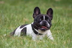 dog breed, animal, dog, old english bulldog, pet, australian bulldog, toy bulldog, french bulldog, american bulldog, boston terrier, carnivoran, bulldog,