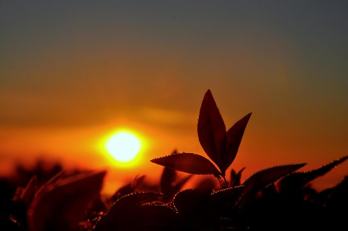 morningsunrise morning sunrise sun spectacular sydney scenery silhouettes leaves backlight backlit backlighting glow colours closeup composition creative colors goldenglow goodmorning garden goldensunrise droplets pearldrops bokeh nature bush nikond90 australia artistic angle amazing angleofview atmosphere drops dewdrops water risingsun dawn
