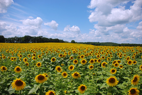 Sunflowers at Pope Farm Conservancy