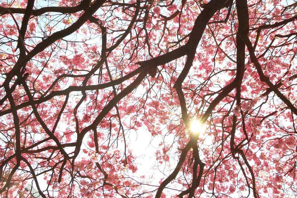 El sol se escabulle entre las ramas de un lapacho florecido, más conocido como Tajy (Tabebuia spp) un árbol frondoso de bellas flores y típico del paisaje del Paraguay (Tetsu Espósito).