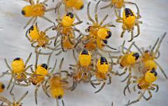 Spiderlings