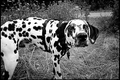 dog breed, animal, dog, pet, mammal, monochrome photography, dalmatian, monochrome, black-and-white,